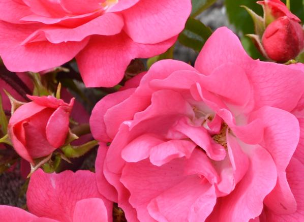 Acqua di Parma Acqua Nobile Rosa - Roses